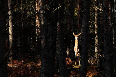 Photograph - Red Deer In The Woods by Gavin Macrae