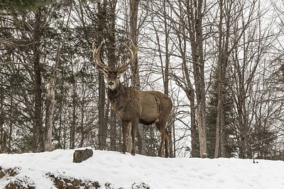 Photograph - Red Deer In Winter by Josef Pittner