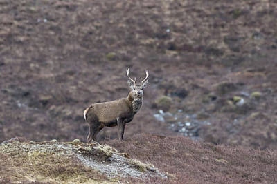 Photograph - Red Deer On Lookout by Peter Walkden