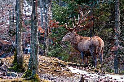 Red Deer Pictures 136 Original by World Wildlife Photography