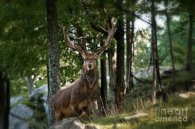 Red Deer Pictures 178 Original by World Wildlife Photography