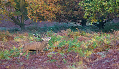 Photograph - Red Deer Stag Amongst Ferns by Peter Walkden