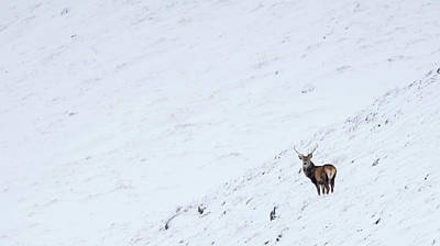 Photograph - Red Deer Stag In Snow by Peter Walkden