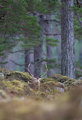 Photograph - Red Deer Stag In Woodland by Peter Walkden