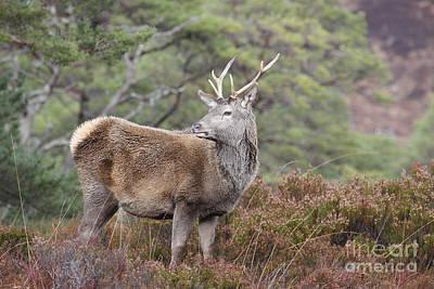 Photograph - Red Deer Stag - Scottish Highlands by Karen Van Der Zijden