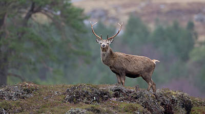 Photograph - Red Deer Stag Stands Tall by Peter Walkden