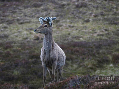 Photograph - Red Deer Stag - Surprise by Phil Banks