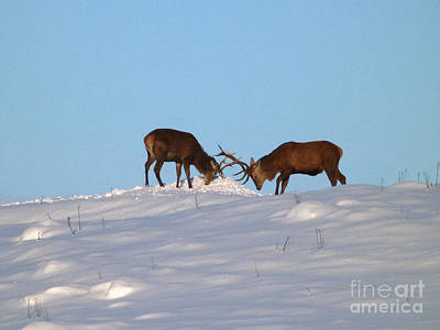Photograph - Red Deer Stags - Winter Sparring by Phil Banks