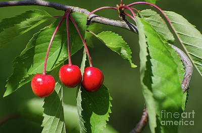 Art Print featuring the photograph Red Delicious by Kennerth and Birgitta Kullman
