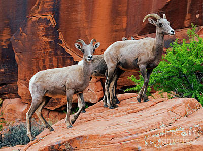 Photograph - Red Desert Ewes by Mike Dawson