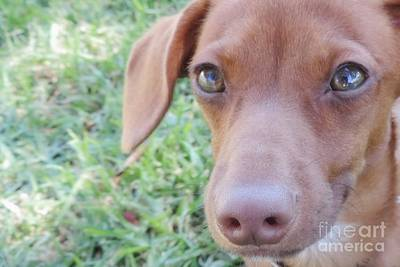 Puppy Photograph - Red Dilute Dachshund Puppy by Leah McPhail
