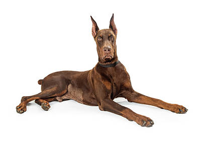 Animals Photos - Red Doberman Pinscher Dog Lying Profile by Good Focused
