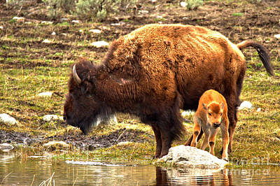Photograph - Red Dog Bison With Mom by Adam Jewell