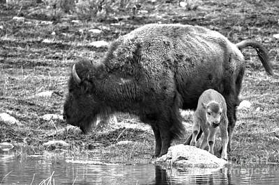 Photograph - Red Dog Bison With Mom Black And White by Adam Jewell