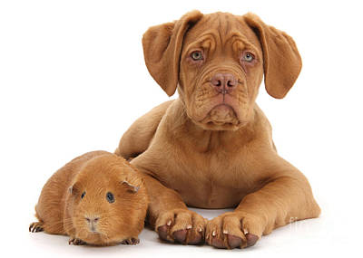Photograph - Red Dogue De Bordeaux And Guinea Pig by Warren Photographic