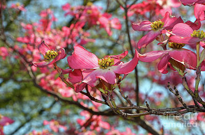 Digital Art - Red Dogwood Flowers by Eva Kaufman