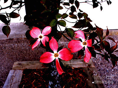Photograph - Red Dogwood In Bloom by Merton Allen