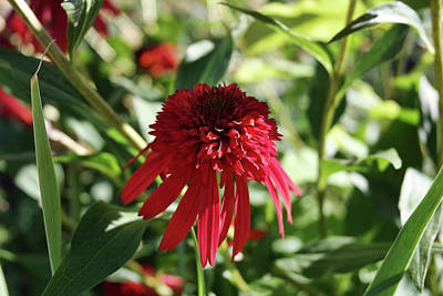 Science Collection -  Red Double Echinacea by Nancy Aurand-Humpf
