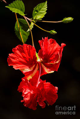 Roses Photograph - Red Double Hibiscus by Zina Stromberg