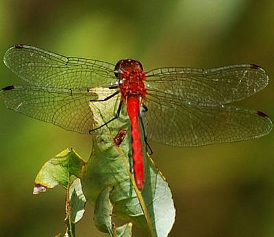 Photograph - Red Dragon Fly by David Lane