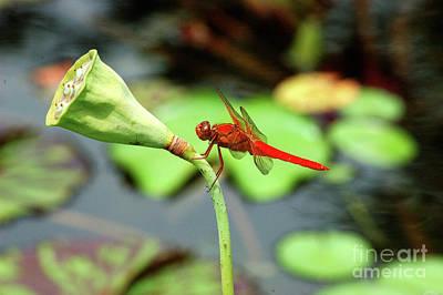 Photograph - Red Dragon by Robert Anschutz