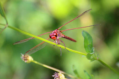 Libellule Photograph - Red Dragonfly by Alex Antoine