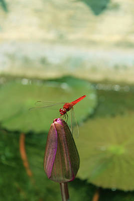 Photograph - Red Dragonfly At Lady Buddha by Samantha Delory