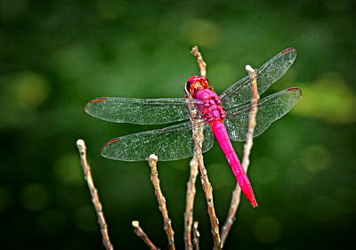 Photograph - Red Dragonfly by Carolyn Derstine