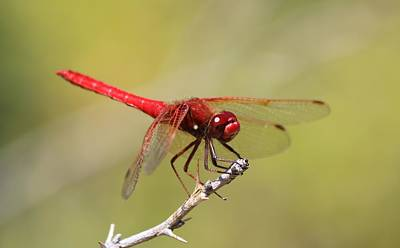 Photograph - Red Dragonfly by Christy Pooschke