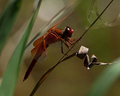 Photograph - Red Dragonfly by Ernie Echols