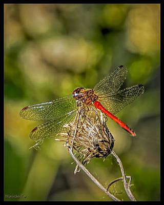 Photograph - Red Dragonfly by LeeAnn McLaneGoetz McLaneGoetzStudioLLCcom