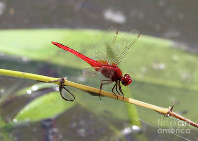Photograph - Red Dragonfly Over Pond by Carol Groenen