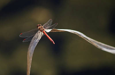 Photograph - Red Dragonfly by Paulo Goncalves