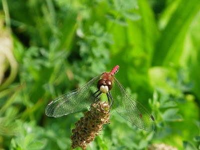 Photograph - Red Dragonfly by Peggy King