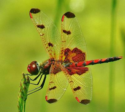 Red Dragonfly Art Print by Thomas  McGuire