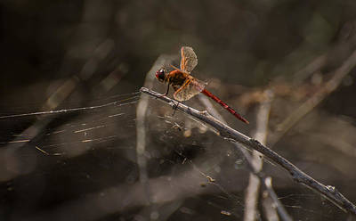 Spider Photograph - Red Dragonfly  by Zina Stromberg