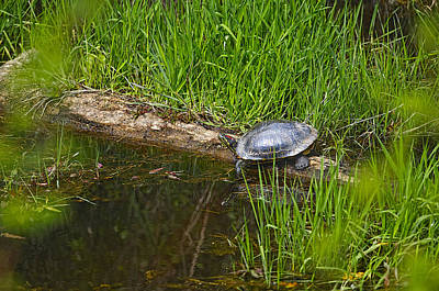 Photograph - Red Eared Slider On A Log 2 by Sharon Talson
