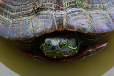 Photograph - Red Eared Slider Turtle by Buddy Scott