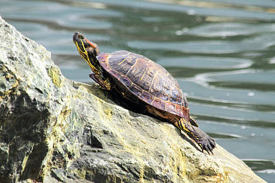 Red Eared Slider Turtle Art Print