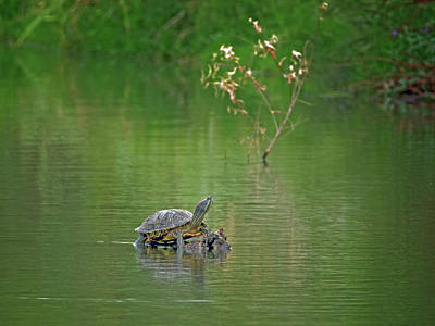 Photograph - Red-eared Slider Turtle by Tam Ryan
