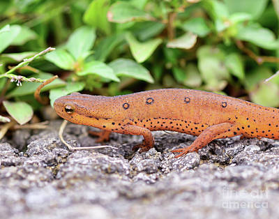 Photograph - Red Eft - Close Up by Kerri Farley