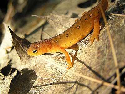 Red Eft Photograph - Red Eft On A Leaf by Tony Beaver