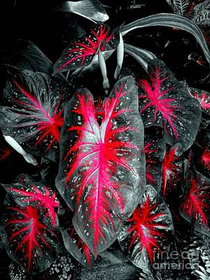 Photograph - Red Elephant Ears #3 by Ed Weidman