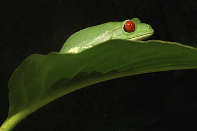 Photograph - Red Eye Frog by Nancy Griswold