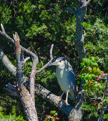 Photograph - Red Eye Hangover All Night Heron by Jeff at JSJ Photography