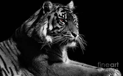 Red Eye Tiger Original by Gull G