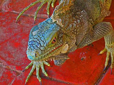 Red Eyed Iguana Photo Art Print by Kelly     ZumBerge