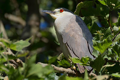 Photograph - Red-eyed Night Heron by Kathleen Bishop