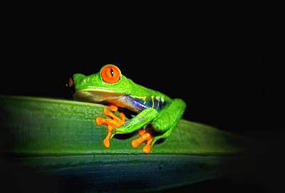 Photograph - Red-eyed Tree Frog by Carolyn Derstine
