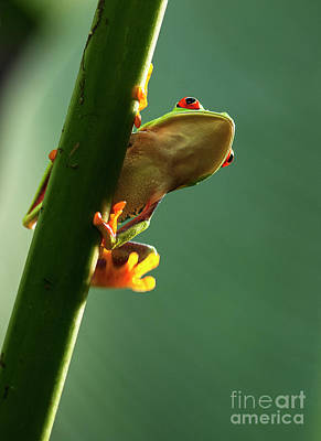 Photograph - Red- Eyed Tree Frog Costa Rica 3 by Bob Christopher